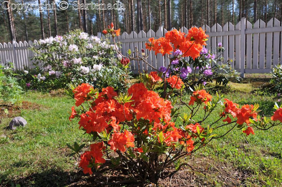 Azalea in our garden