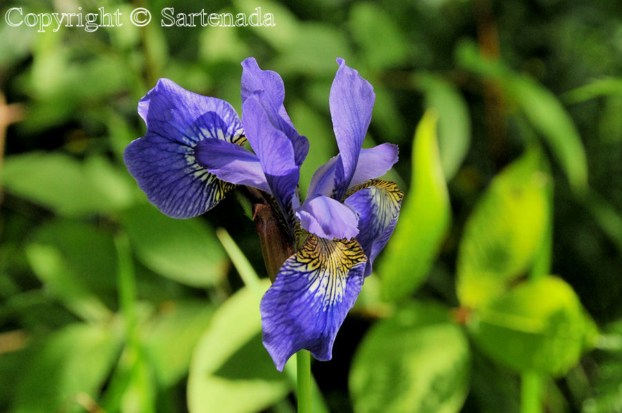 Iris sibirica is also very common in my new home town – Mikkeli