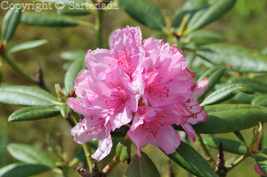 Rhodorendron in our garden