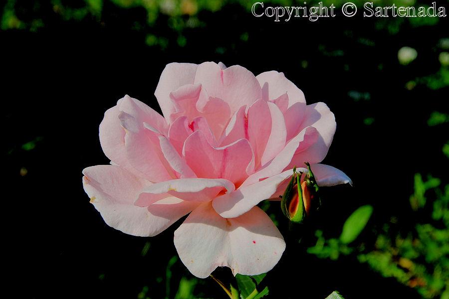 Roses in our garden / Rosas en nuestro jardín / Roses dans notre jardin