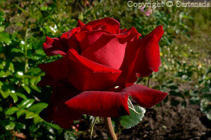 Rose Westerland in our garden / Rosa Westerland en nuestro jardín / Rose Westerland dans notre jardin