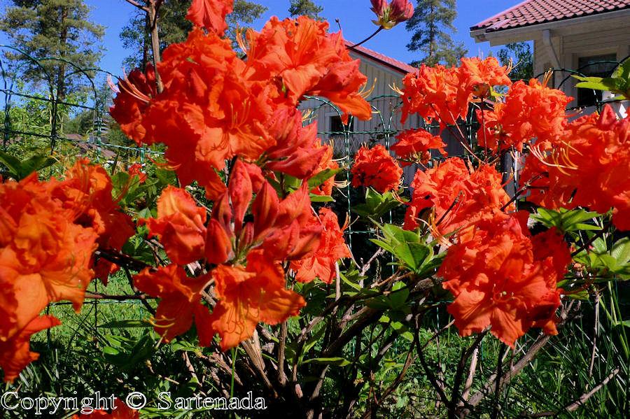 Azalea mollis Gibraltar