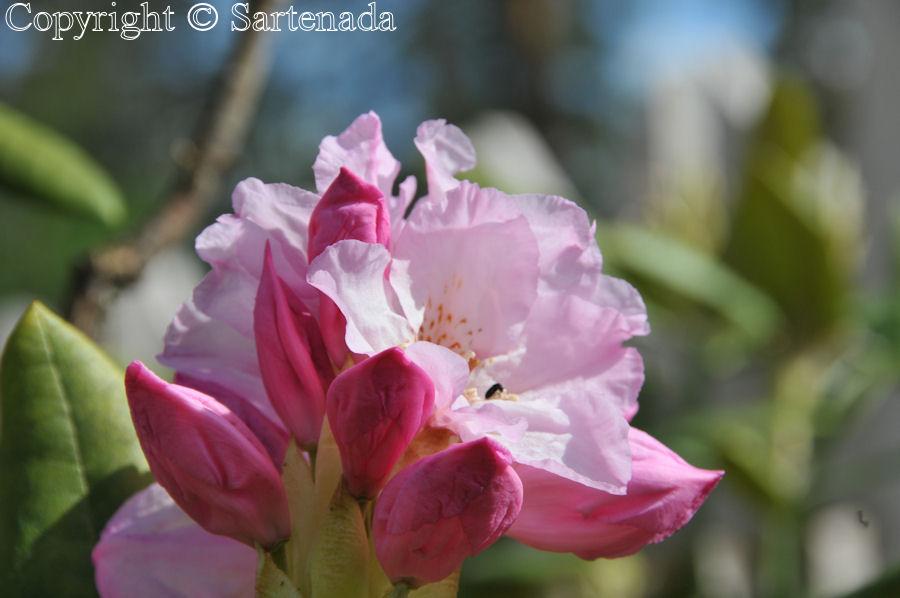 Rhododendrons in our garden / Fotos de Rhododendron en nuestra jardín / Photos de Rhododendrons dans notre jardin