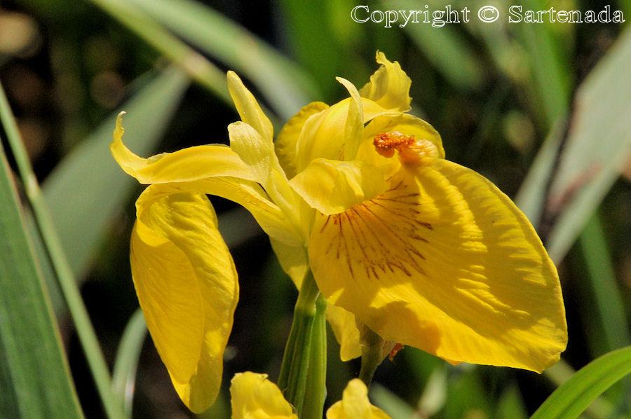 Iris pseudacorus / Yellow Iris / Lirio amarillo / Iris des marais