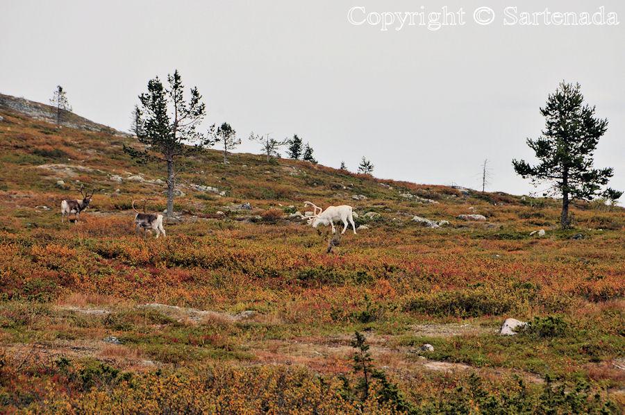 Pallas-Yllästunturi National Park / Parque Nacional de Pallas-Yllästunturi / Parc national de Pallas-Yllästunturi