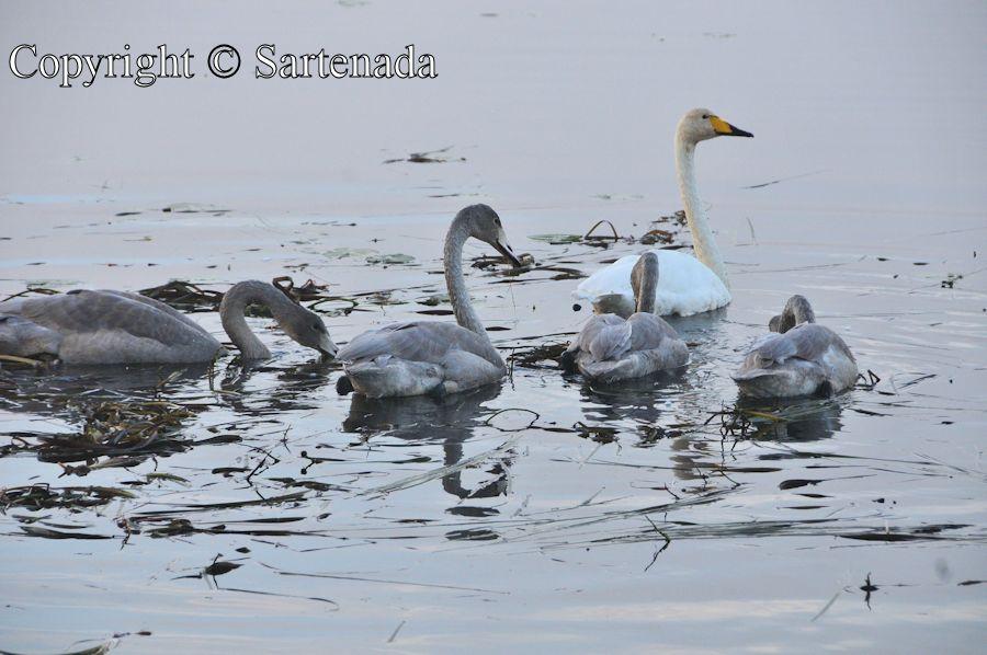Swans before migration / Cisnes antes de la migración / Cygnes avant la migration / Cisnes antes da migração
