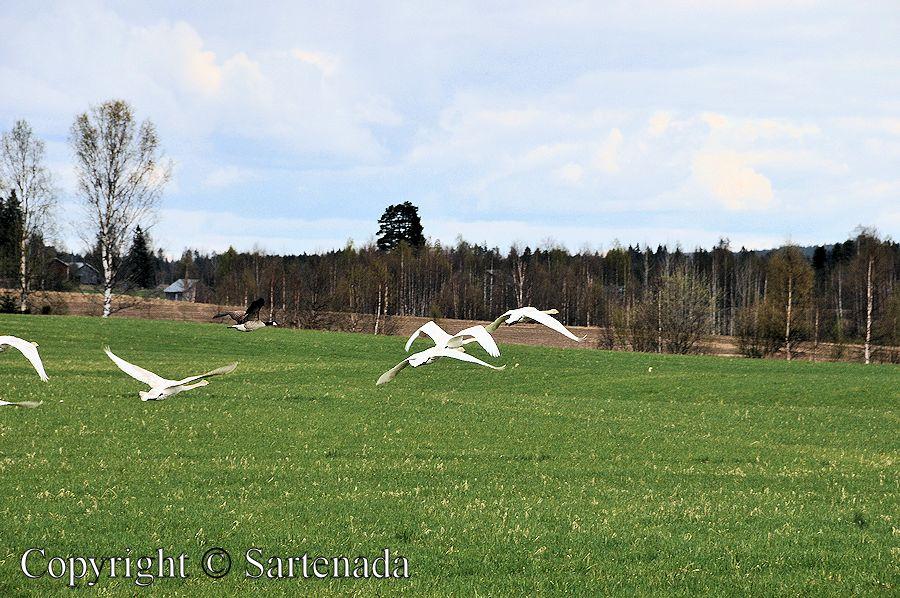 Migration of swans / Migración de cisnes / Migration de cygnes / Migração de cisnes