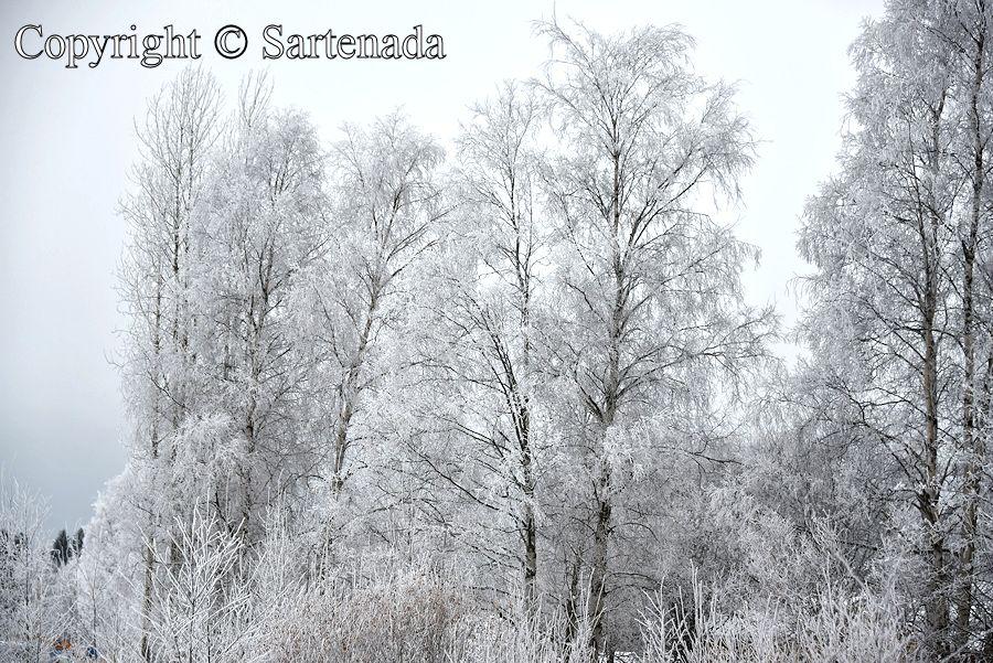 White trees / Árboles blancos / Arbres blancs / Árvores brancas