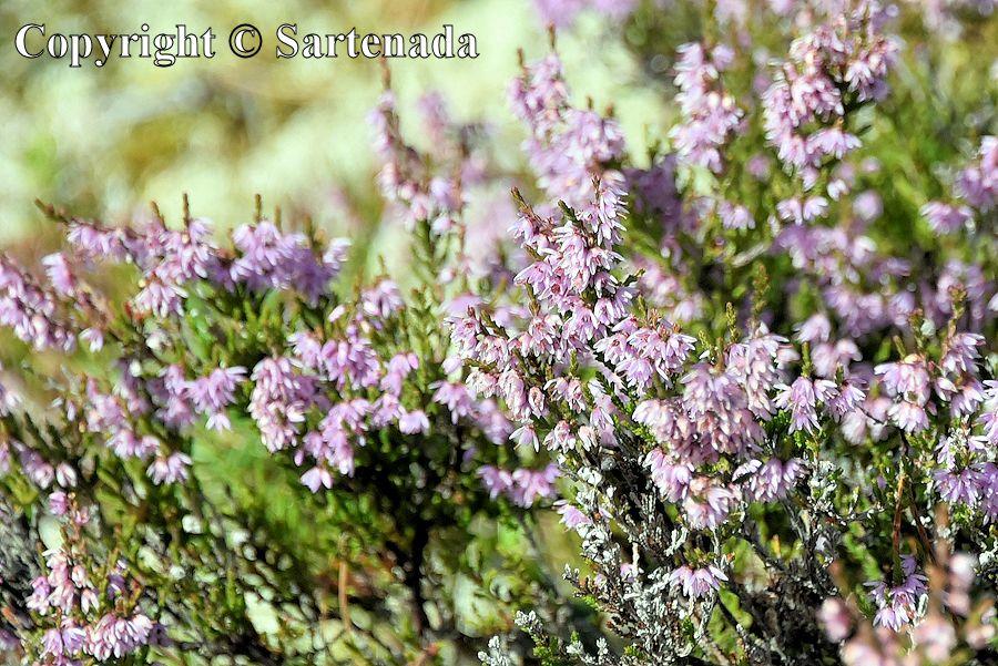 Reindeer lichen / Liquen de renos / Lichen des rennes / Líquen de rena