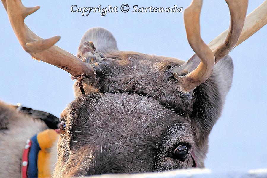 Reindeer rides and Santa / Paseos en rennes et Père Noël / Promenades en rennes y Papa Noel / Passeios de Rennes e Papai Noel