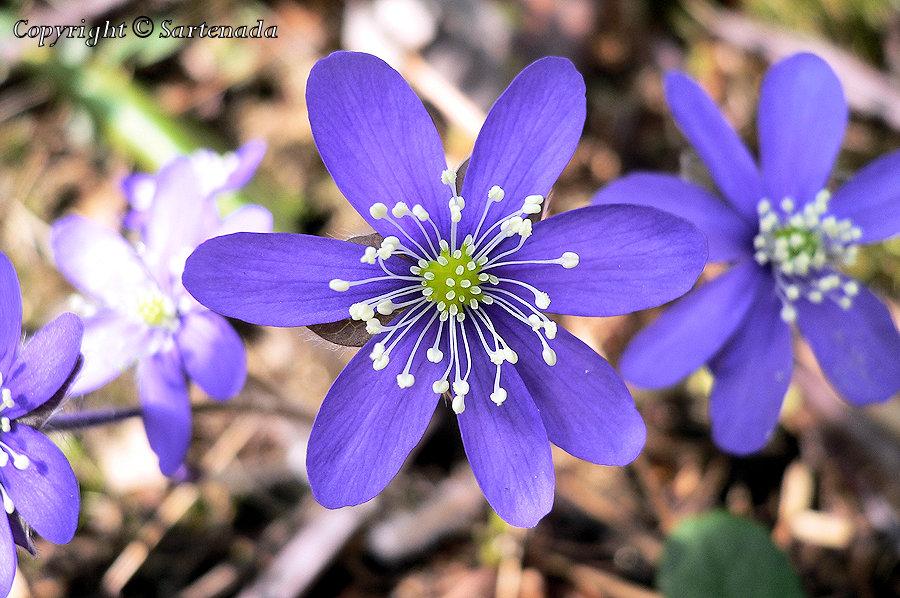 Anemone, Hepatica nobilis , Leberblümchen, Anemone hepatica, Hépatique à trois lobes , L'erba trinità, ミスミソウ, Sinivuokko