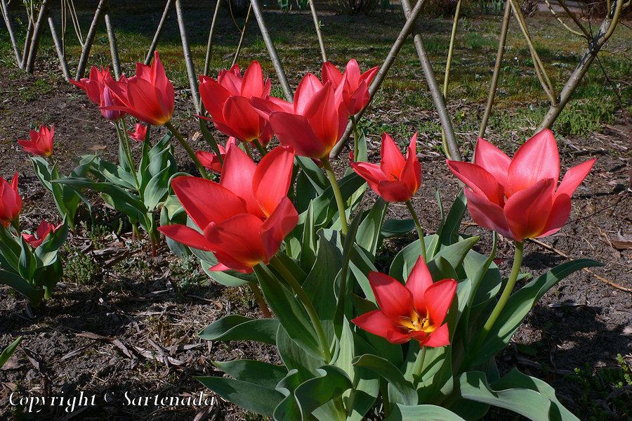 Tulip, Tulipa, Tulipe, Tulpen, チューリップ, Tulppaani