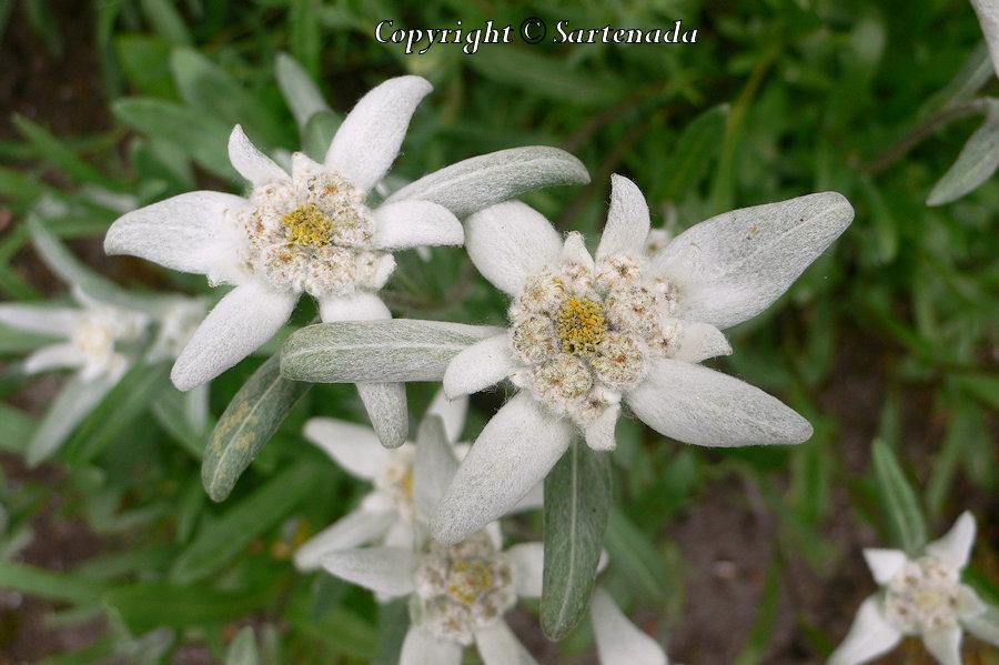 Leontopodium alpinum, Edelweis, Alpen-Edelweiß, Flor de las nieves, Pied-de-lion, Stella alpina dell'Appennino , Pé-de-leão, セイヨウウスユキソウ