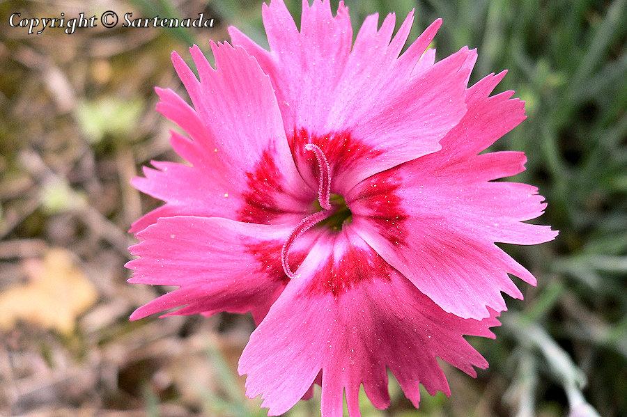 Cheddar Pink, Dianthus gratianopolitanus, Pfingst-Nelke, Œillet de Grenoble, Neilikka