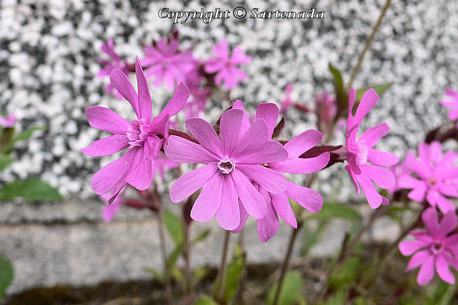 Red campion, Silene dioica, Compagnon rouge, Rote Lichtnelke, レッドキャンピオン, Puna-Ailakki