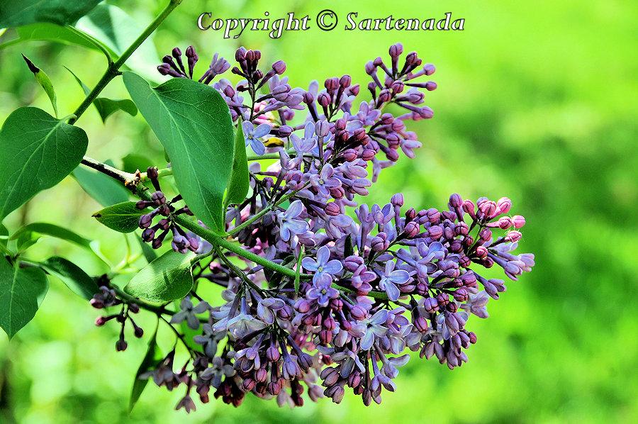 Lilac, Syringa, Flieder, Lilo, Le lilas commun, ライラック, Syreeni