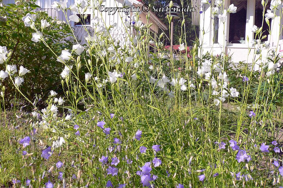Milky bellflower, Campanula lactiflora,  Riesen-Glockenblume, Maitokello