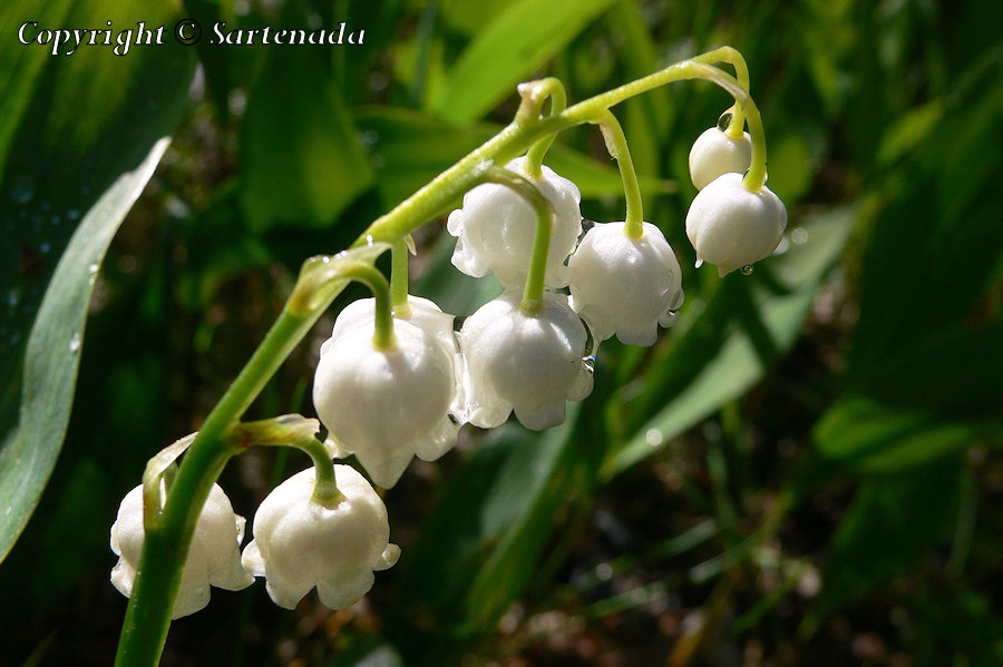 Convallaria majalis, Lily of the Valley, Convallaria majalis /Maiglöckchen, Muguet de mai, Lírio-do-vale, Kielo, スズラン  , KieloConvallaria majalis, Lily of the Valley, Convallaria majalis /Maiglöckchen, Muguet de mai, Lírio-do-vale, Kielo, スズラン  , Kielo