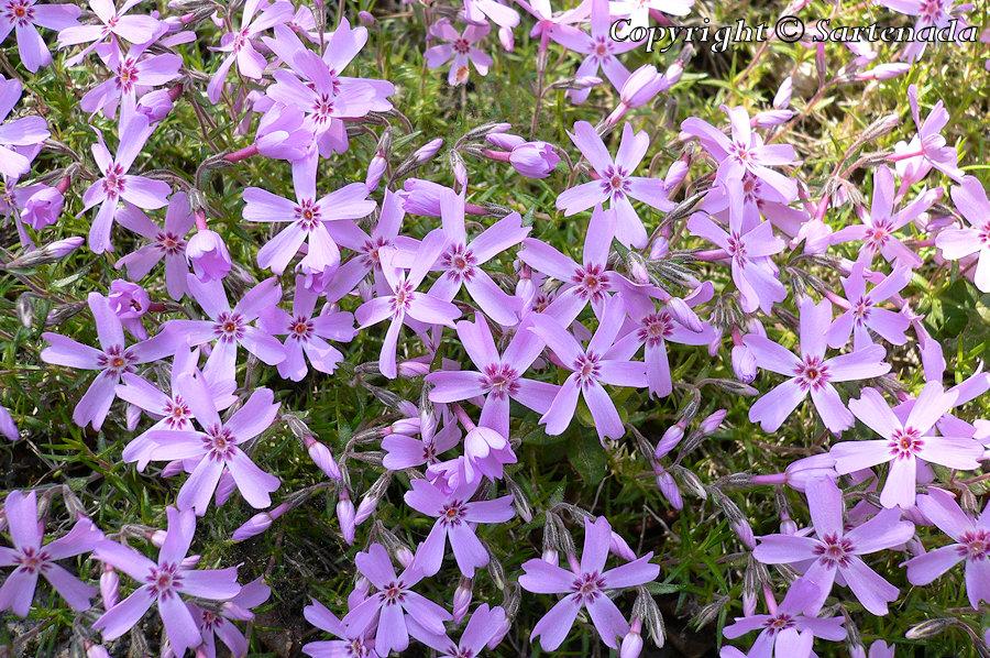 Mountain phlox, Moss pink, Polster-Phlox, Teppich-Phlox, Phlox subulata, Sammaleimu
