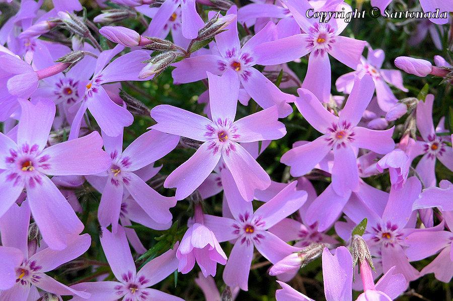 Mountain phlox, Moss pink, Polster-Phlox, Teppich-Phlox, Phlox subulata, SammaleimuMountain phlox, Moss pink, Polster-Phlox, Teppich-Phlox, Phlox subulata, Sammaleimu