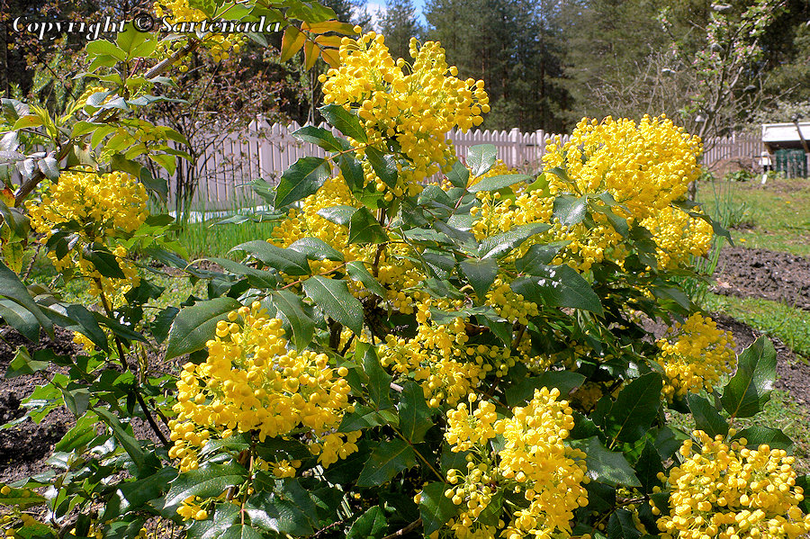 Oregon grape, Mahonia aquifolium, Gewöhnliche Mahonie, Uva de Oregón, Mahonia faux houx, Mahonia
