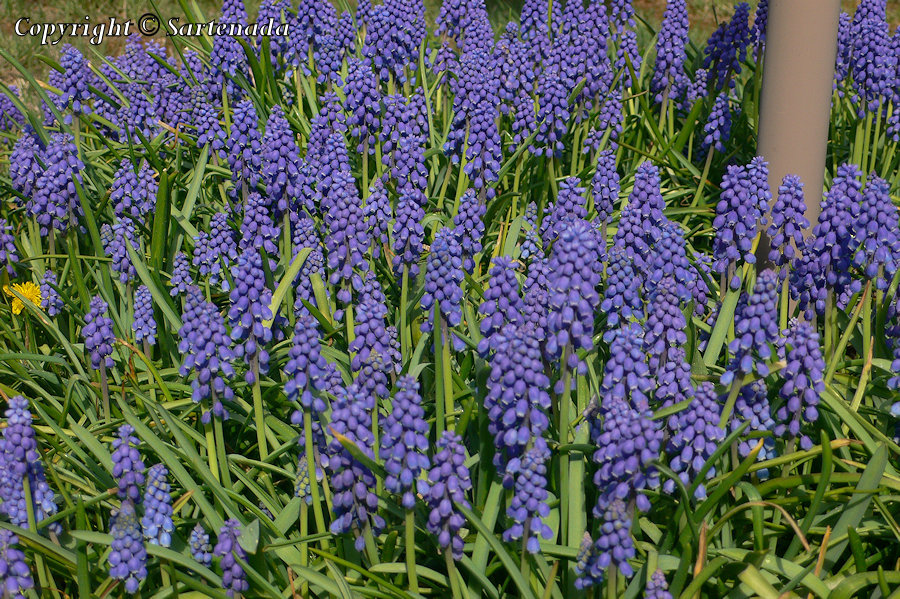 Grape Hyacinth, Muscari armeniacum, Armenische Traubenhyazinthe, Helmililja