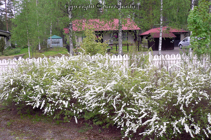 Spiraea 'Grefsheim', hybridspirea,  NorjanangervoSpiraea 'Grefsheim', hybridspirea,  Norjanangervo