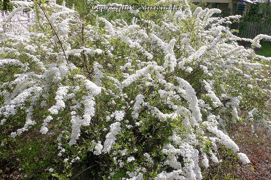 Spiraea 'Grefsheim', hybridspirea,  Norjanangervo