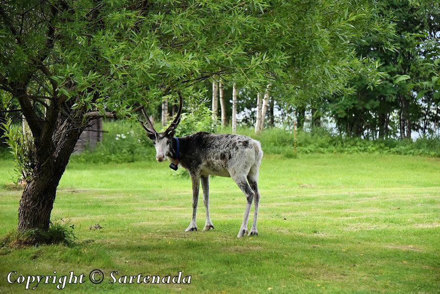 Reindeers are cute / Renos son lindos / Rennes sont mignons / Renas são  fofas