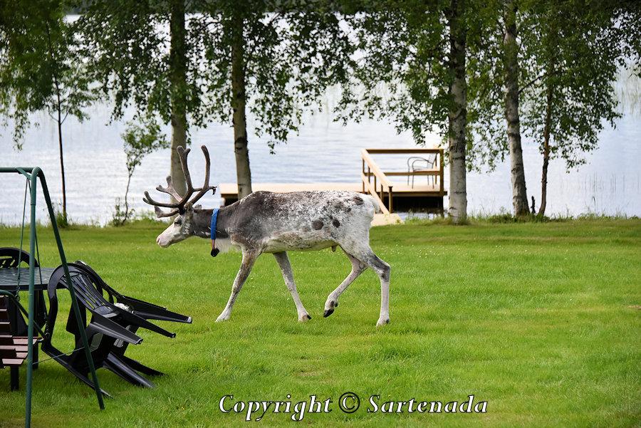 Reindeer are curious / Renos son curiosos / Rennes sont curieux / Renas são curiosas