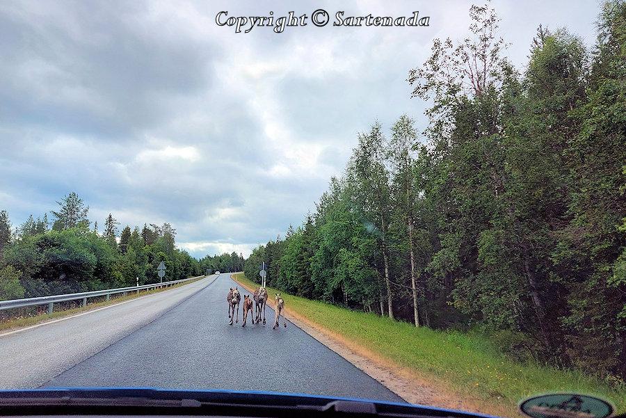 Reindeer3 block the road / Renos3 bloquean la carretera/ Rennes3 bloquent la route/ Renas3 bloqueiam a estrada